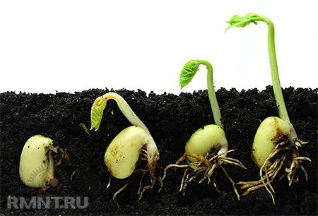 подготовка семян астры к посеву на рассаду