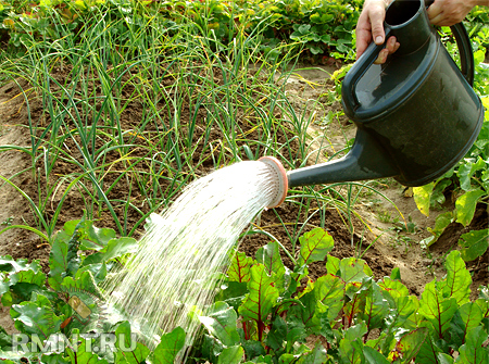 Выращивание овощей на даче, огороде | Советы дачникам