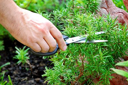 Выращиваем приправы— шалфей, розмарин и другие ароматные растения