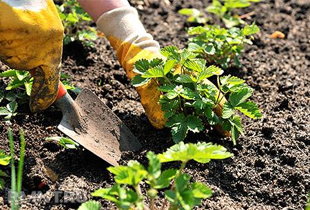 Самая сладкая ягода на вашем участке— выращиваем клубнику