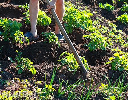 Органическое земледелие. Плоскорез вместо культиватора