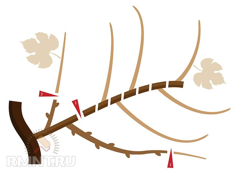 Умный виноградник: формировка и обрезка