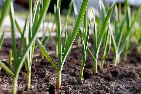 Как правильно вырастить и сохранить урожай чеснока