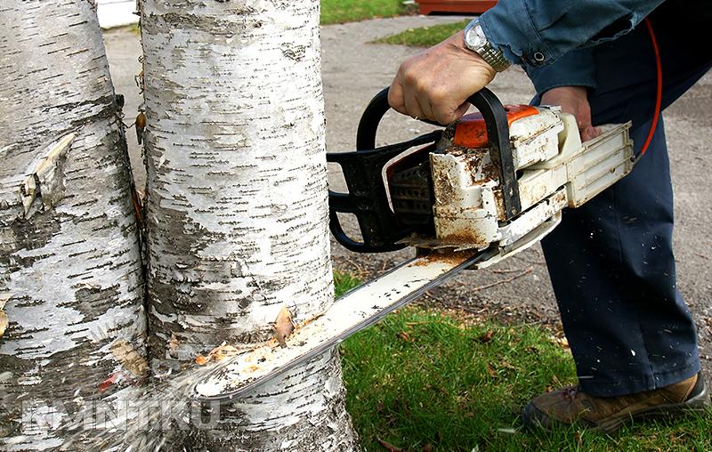 Как определить кто должен спилить дерево на общей территории