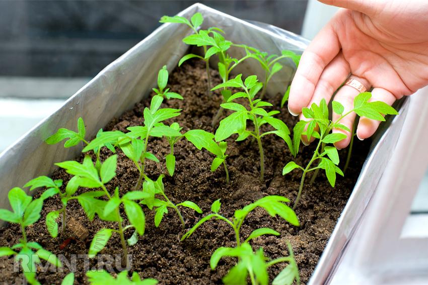 Как правильно закаливать рассаду овощей