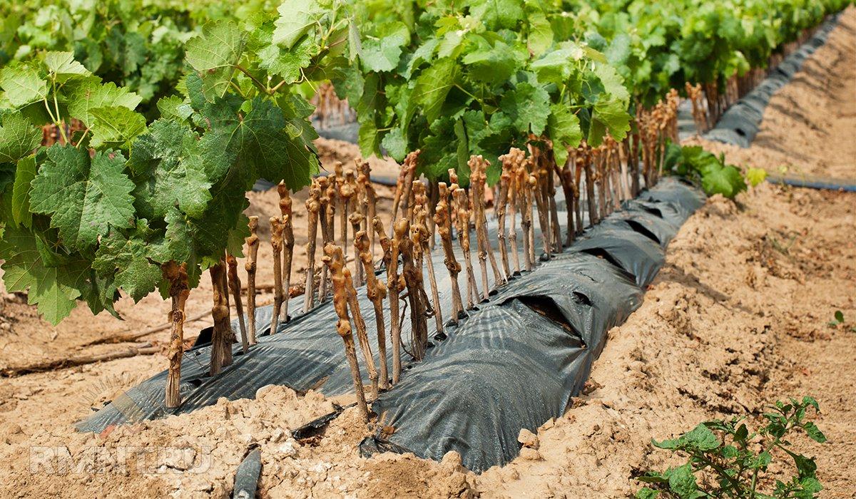Основные проблемы при выращивании винограда