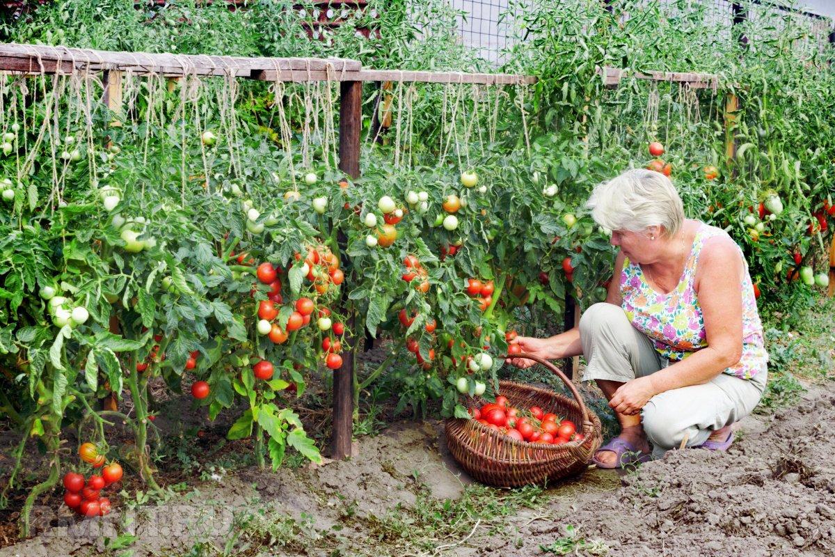 Выращивание помидоров: как сберечь урожай томатов в холодное лето