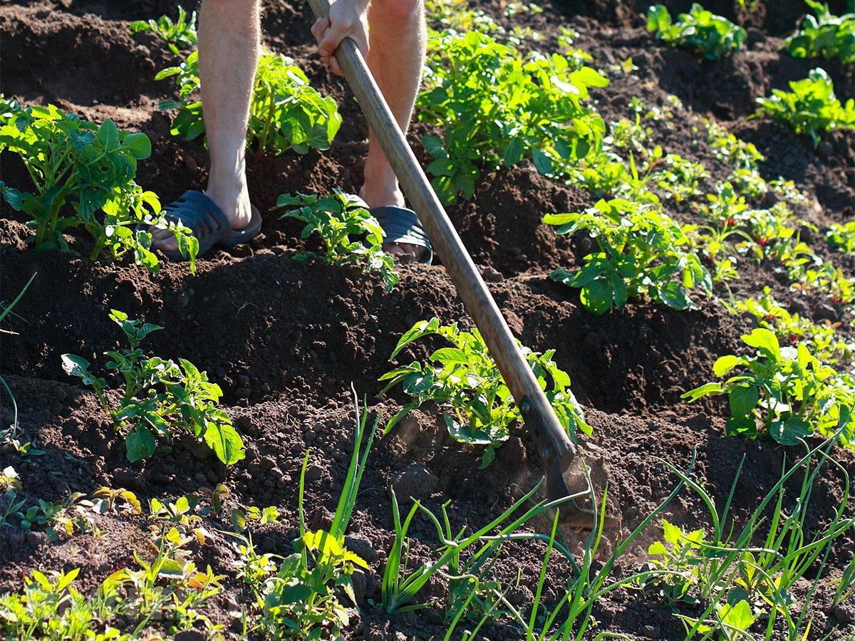 Органическое земледелие: плоскорез вместо культиватора