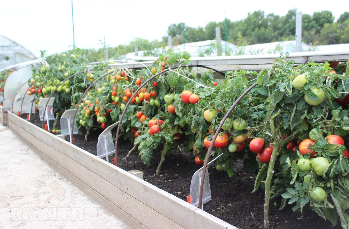 Выращивание томатов в условиях холодного климата