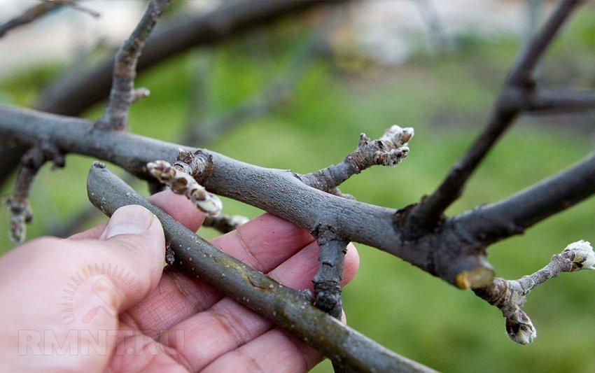 Картинки по запросу прививка плодовых деревьев фото