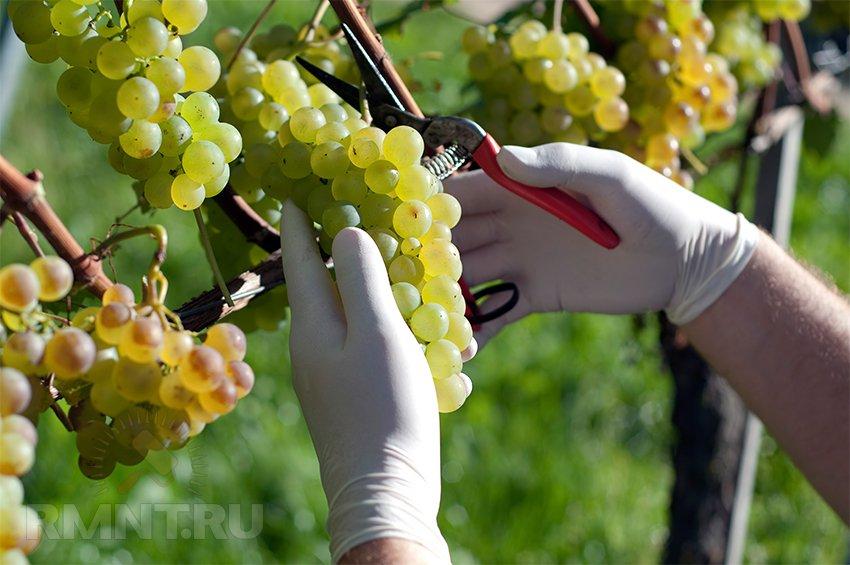 Как посадить виноград правильно: советы, как сажать виноградные кусты, различные способы посадки виноградника