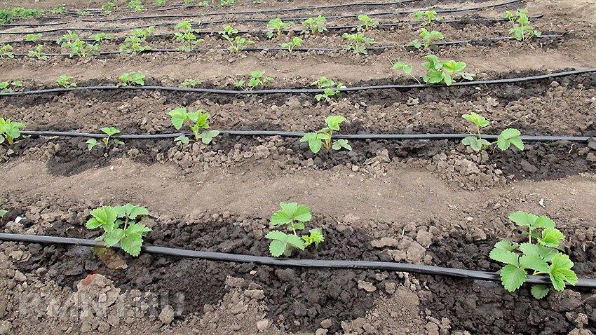 Земляника садовая: секреты выращивания клубники в открытом грунте