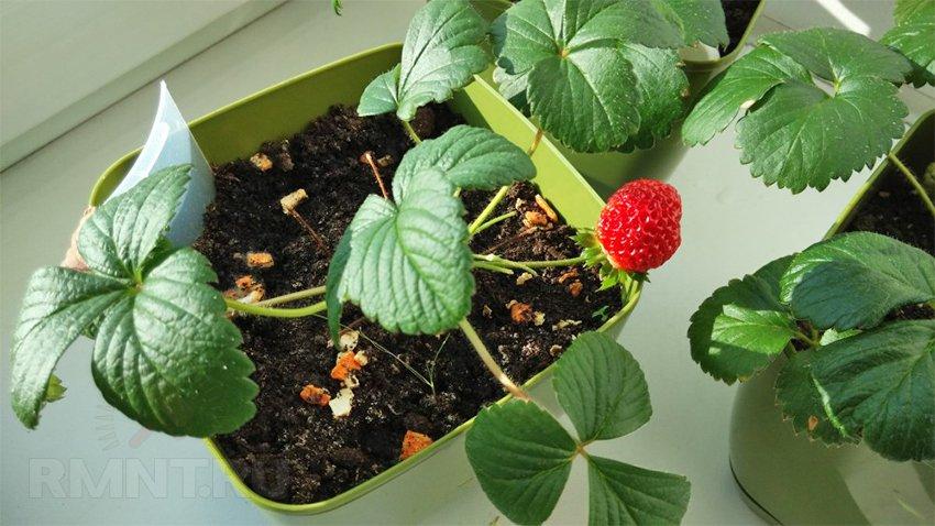 Сорта клубники которые можно выращивать круглый год