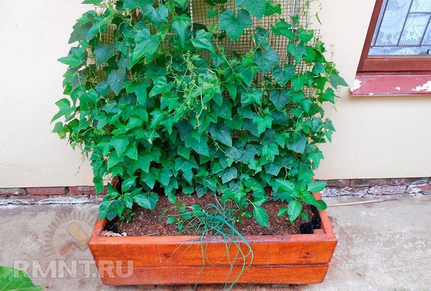 Мелотрия шершавая или арбузный огурец: выращивание и уход