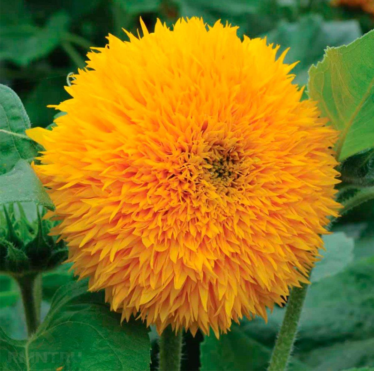 Выращивание и уход за декоративным подсолнухом
