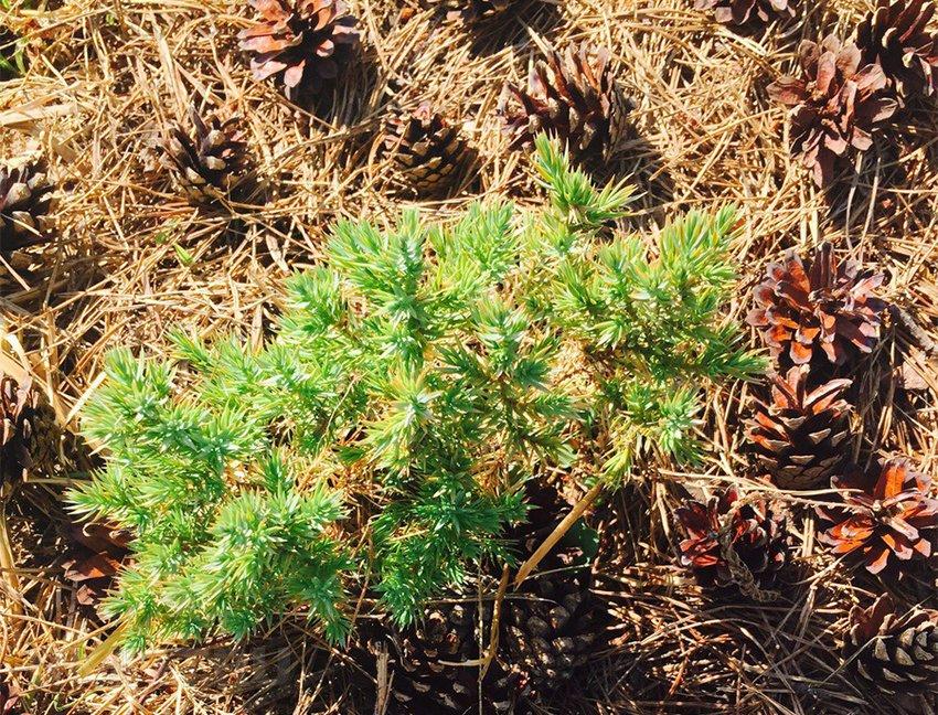 Уход за хвойными растениями в первые годы после посадки