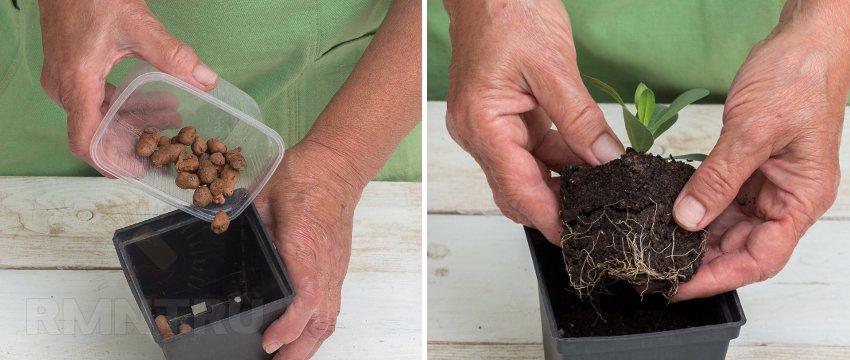 Эустома выращивание из черенков 56