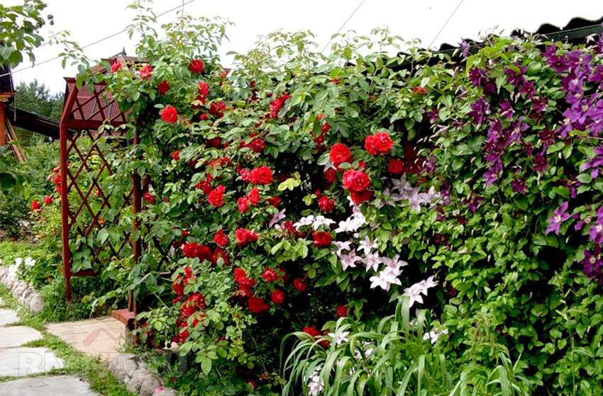 Многолетние вьющиеся растения для забора и беседки