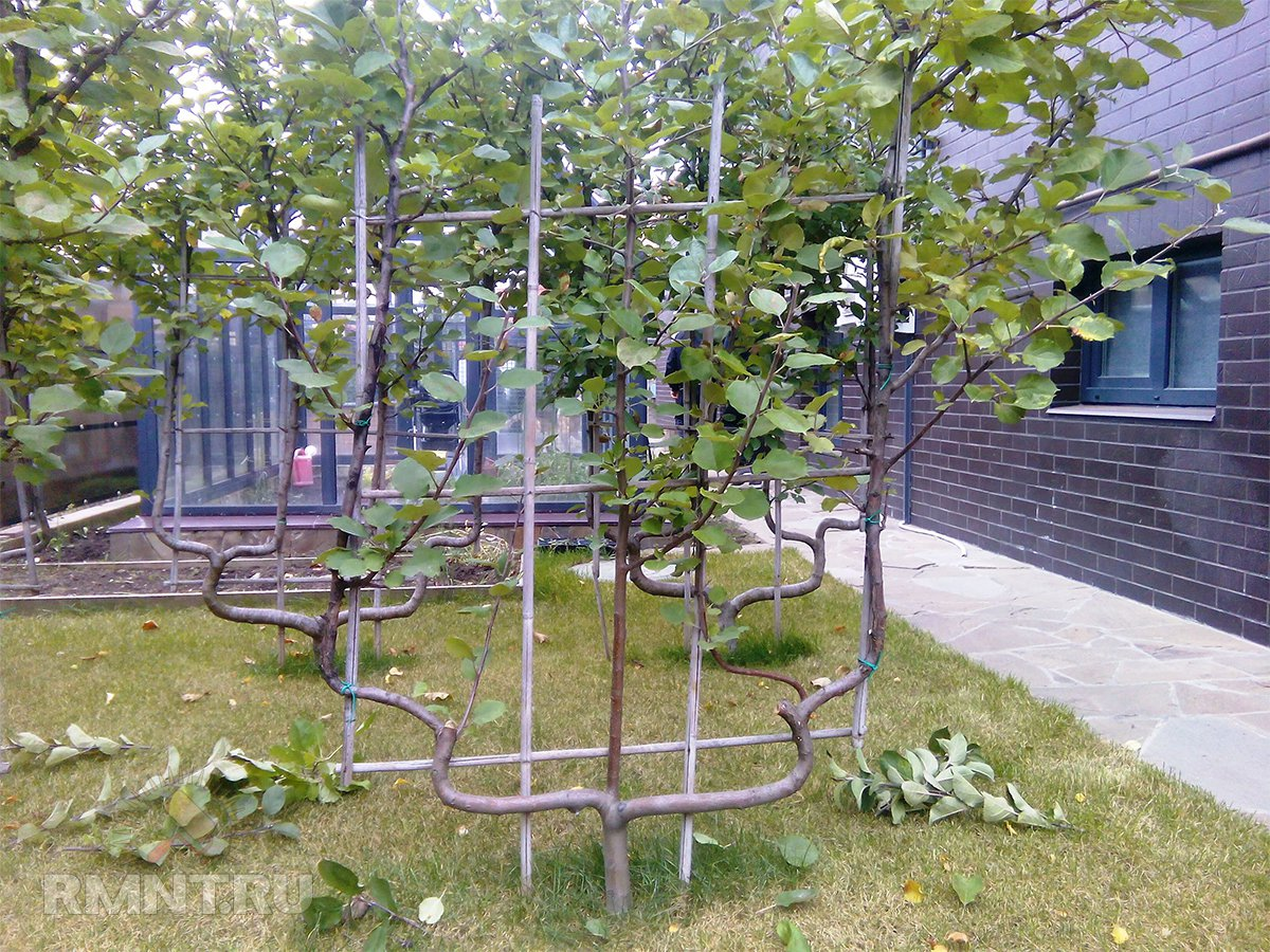 Плодовые деревья на шпалерах — оригинальный компактный сад