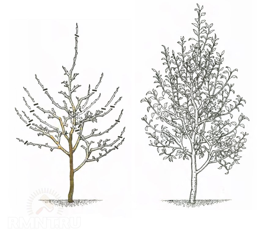 Как обрезать яблоню весной схема