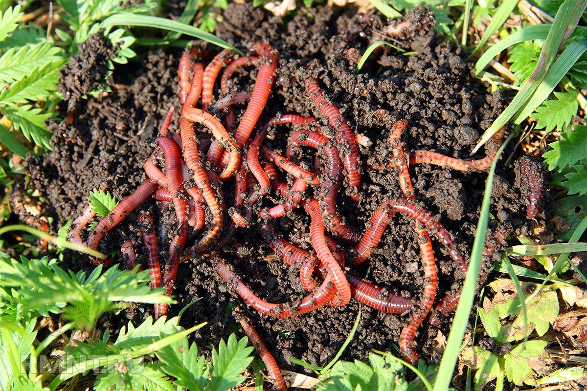 Чем кормят дождевых червей в домашних условиях