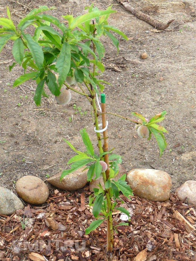 Посадка персика в грунт