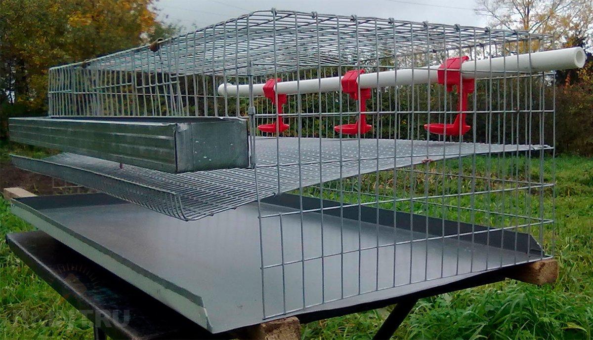 Выращивание перепелов в домашних условиях
