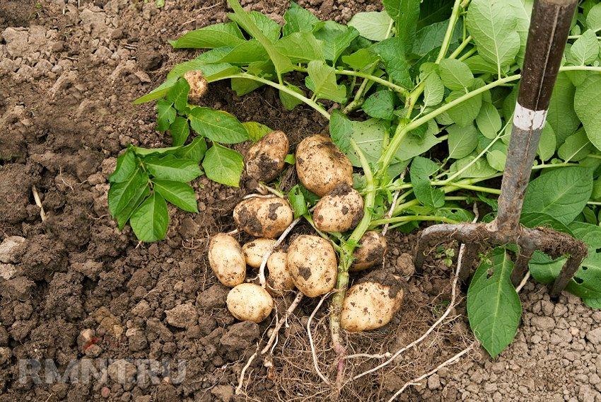 Астраханская область является лидером по производству раннего картофеля