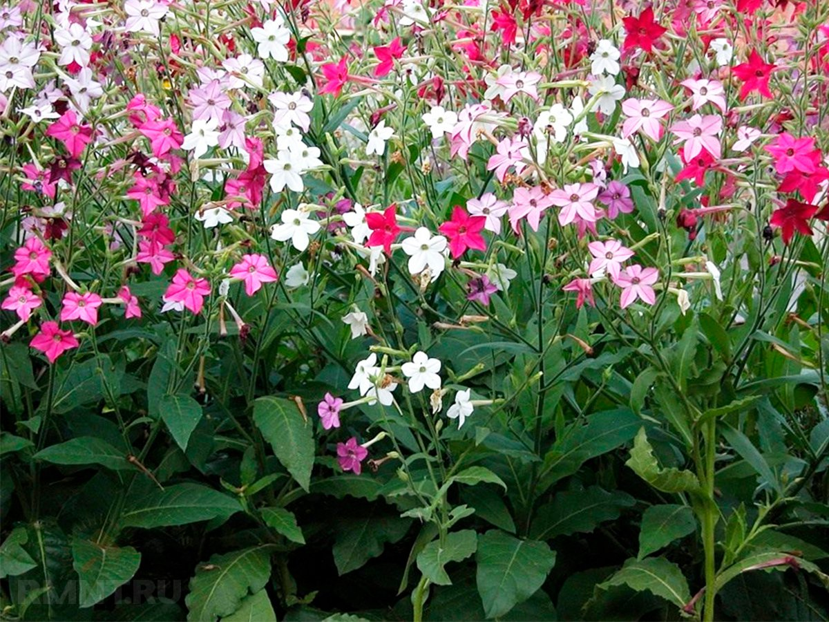 Цветы душистый табак посадка и уход фото