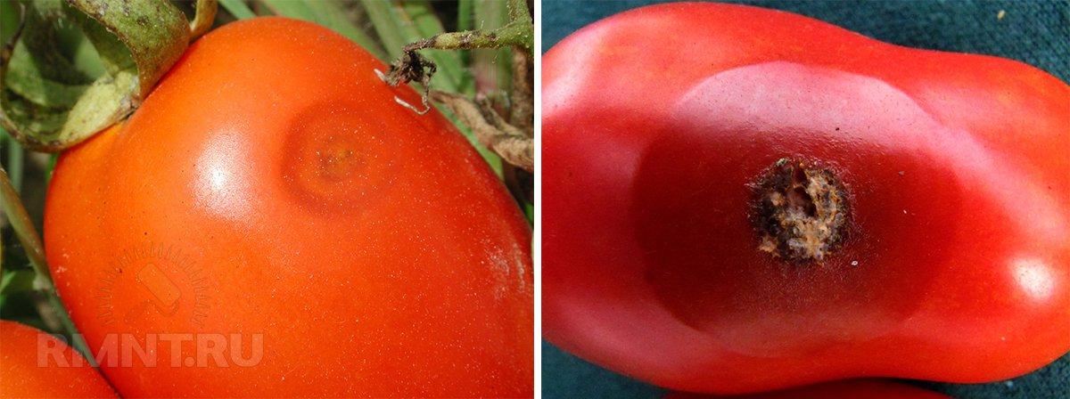 Антракноз на плодах томата