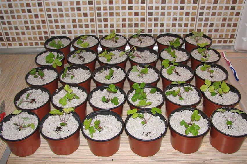 Как вырастить рассаду клубники 31