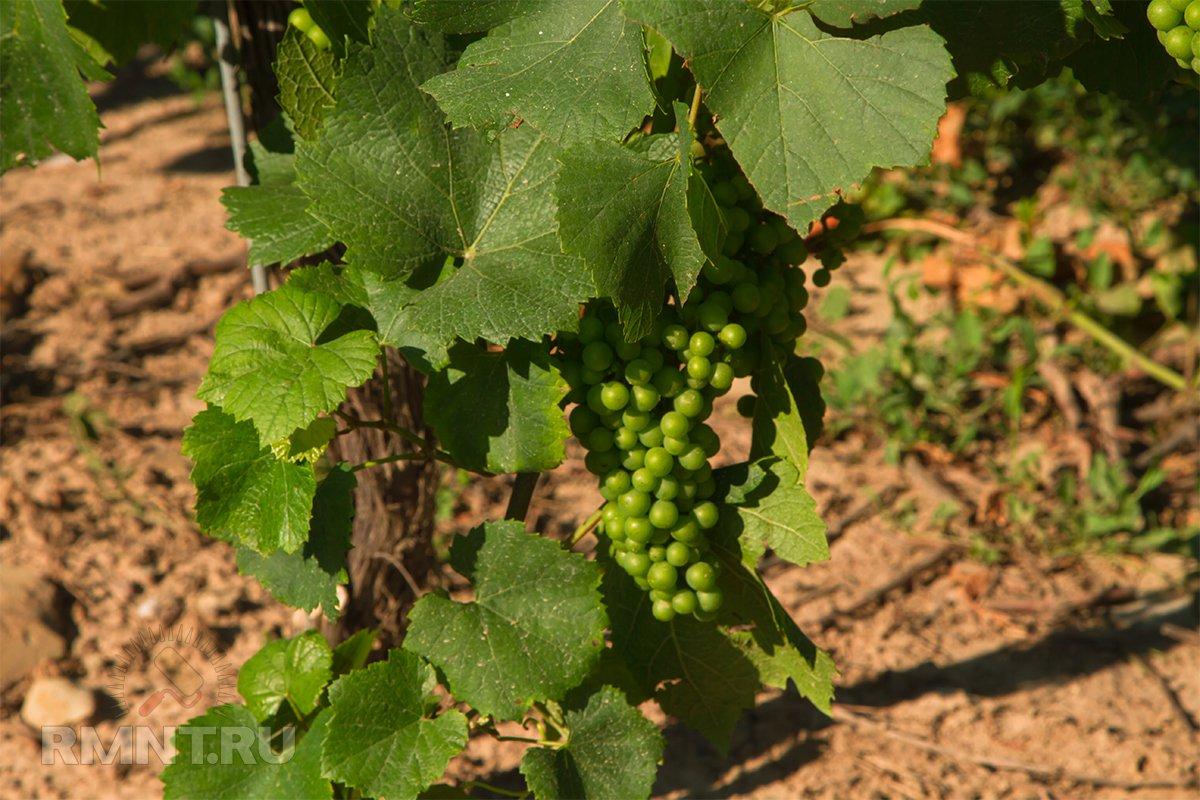 Траншея для винограда в Сибири,