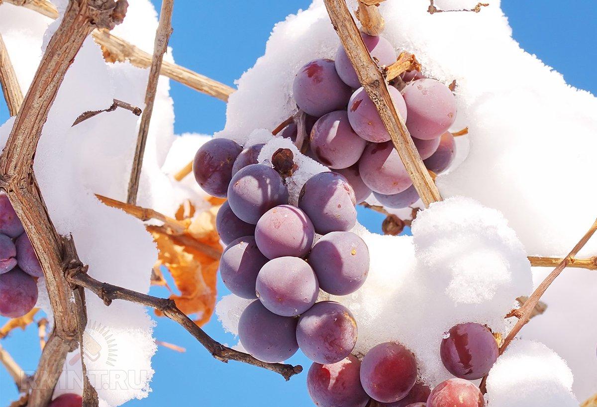 Подготовка винограда к зиме и особенности хранения урожая