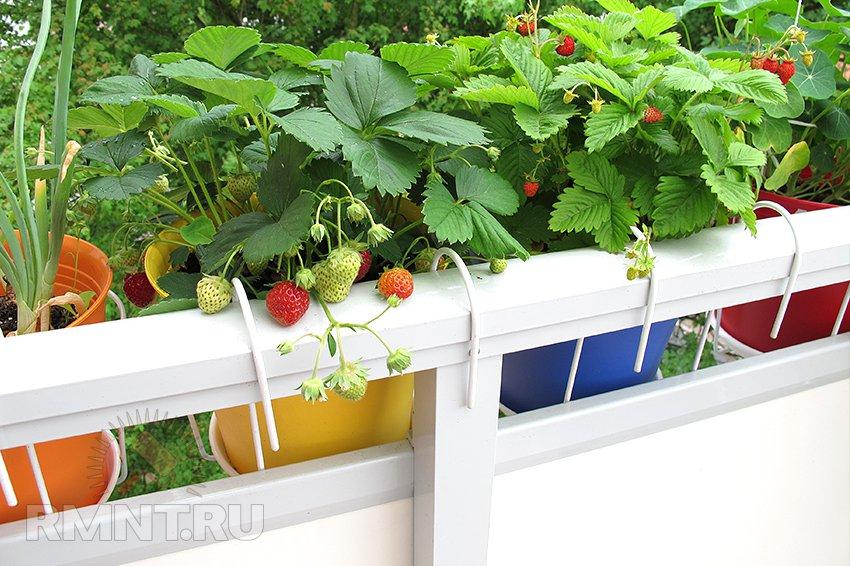 Земляника садовая — все о сортах и высадке