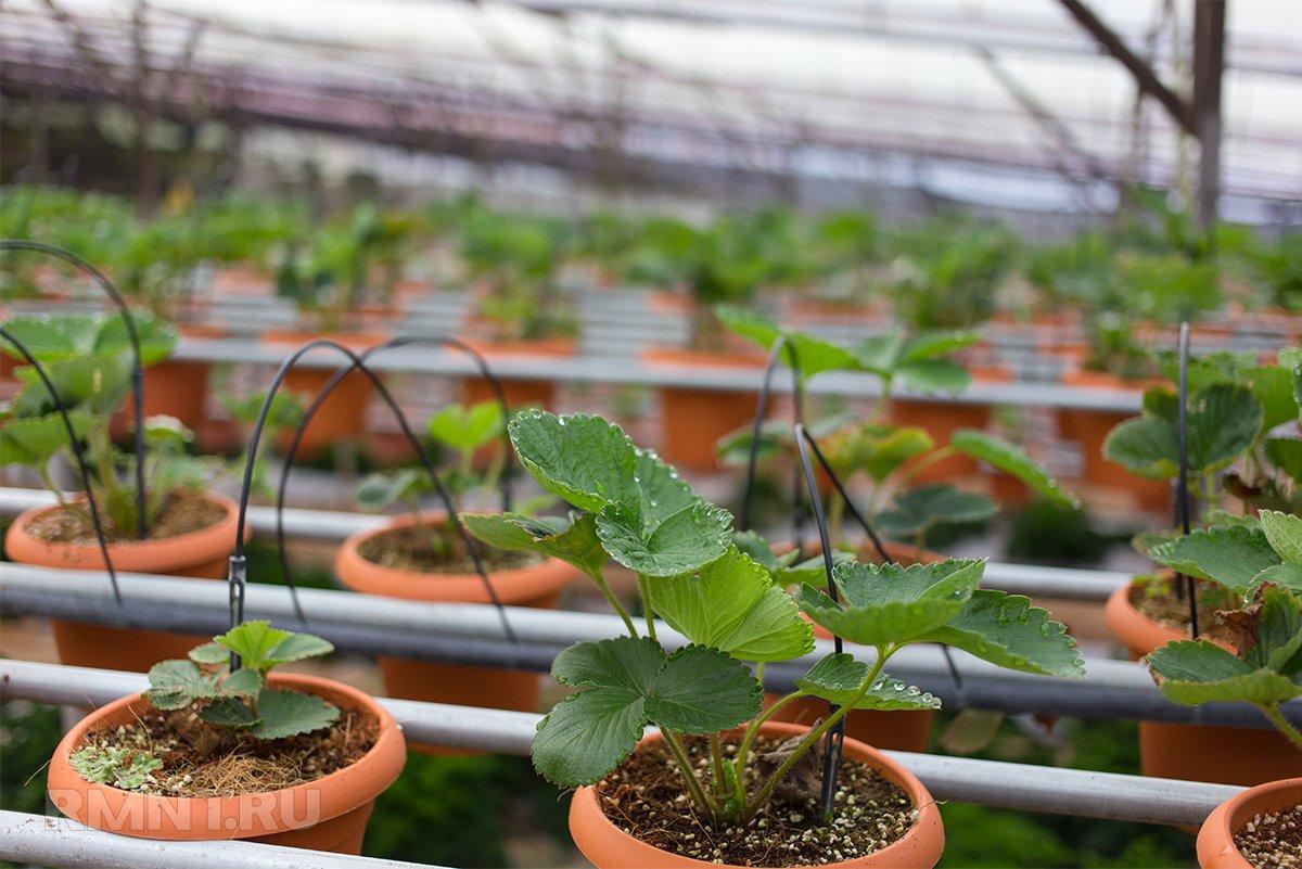 Выращивание клубники на гидропонной ферме