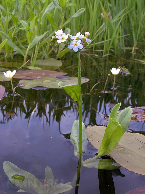 Растения для декоративного водоема и садового пруда на даче