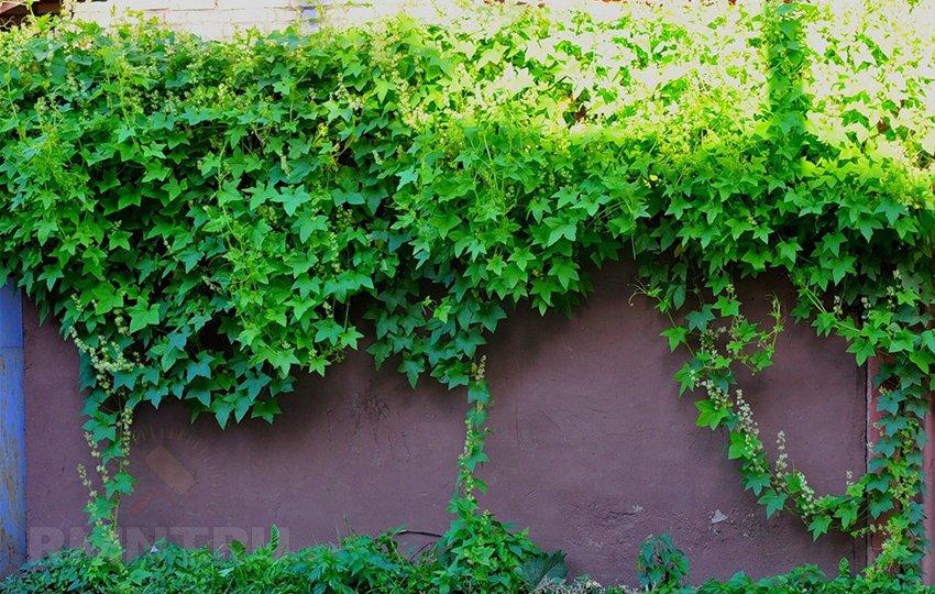 Выбираем плетущиеся растения для оформления забора