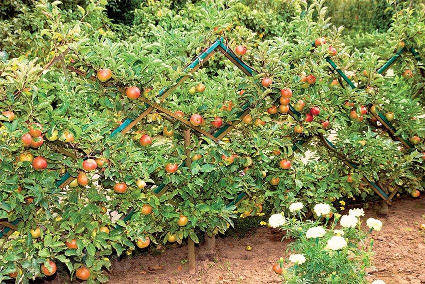 Выращивание низкорослых яблонь 10