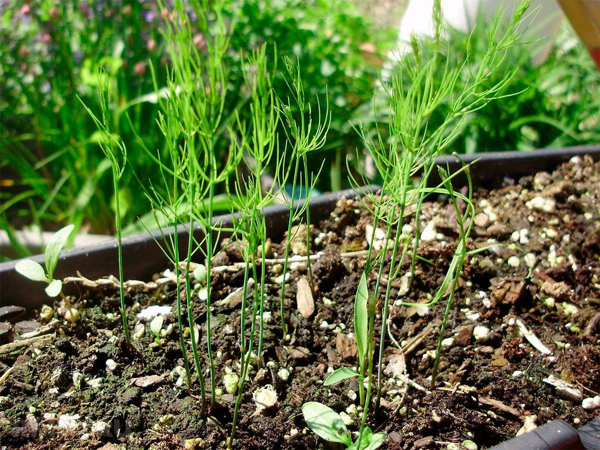 Выращивание спаржи в домашних условиях фото