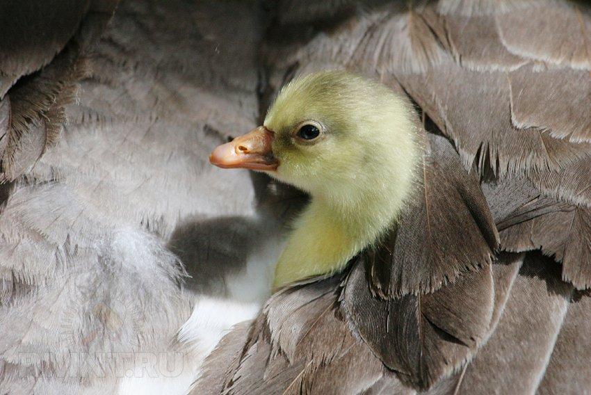 Как вырастить на даче в течение лета домашнюю птицу