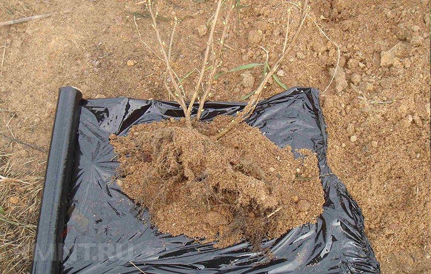 Как вырастить смородину на дачном участке