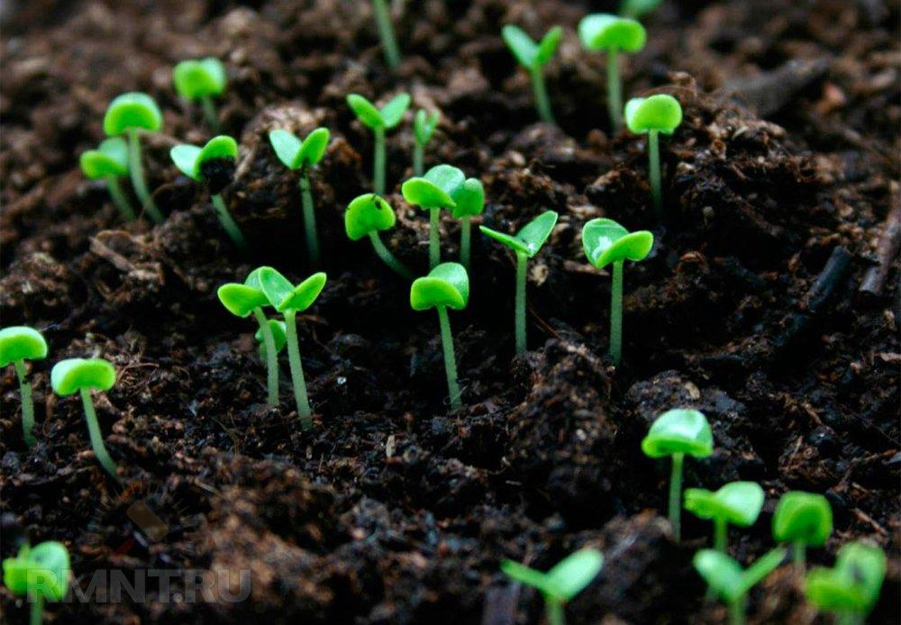 Сапропель используют для удобрения культурных растений