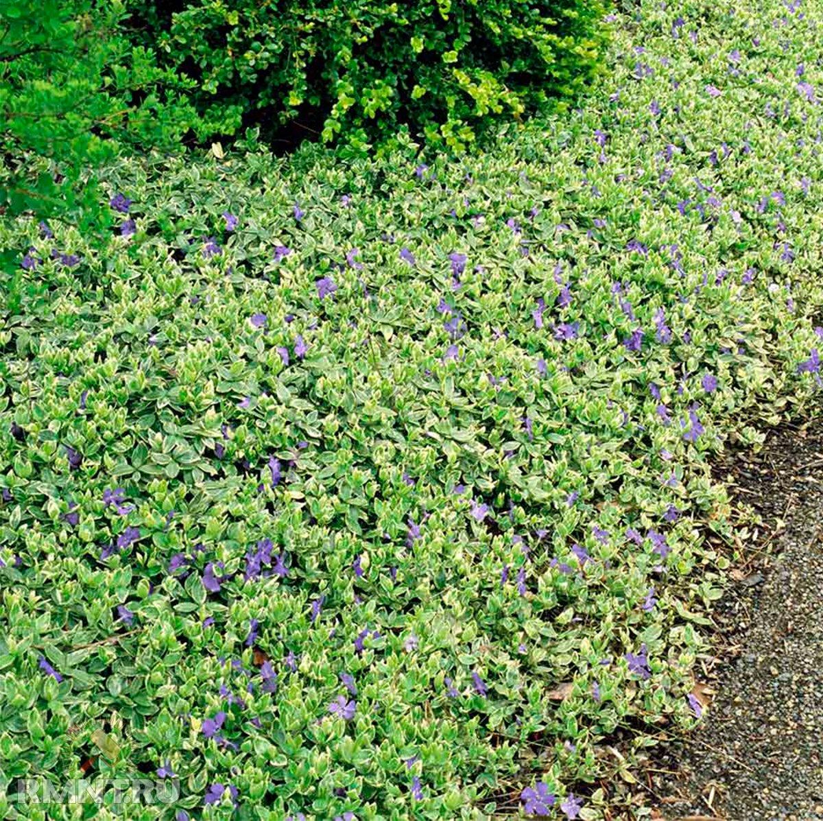 Стойкие растения для шаговых дорожек, парковок, детских площадок на участке