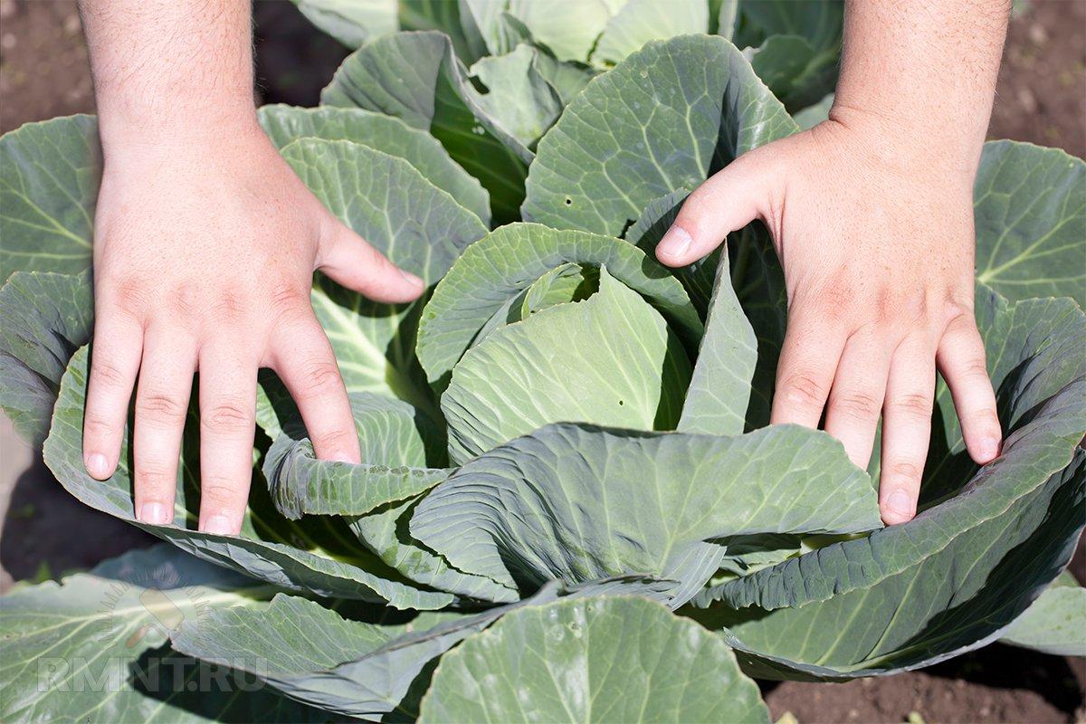 Можно ли закапывать капустные листья в огороде