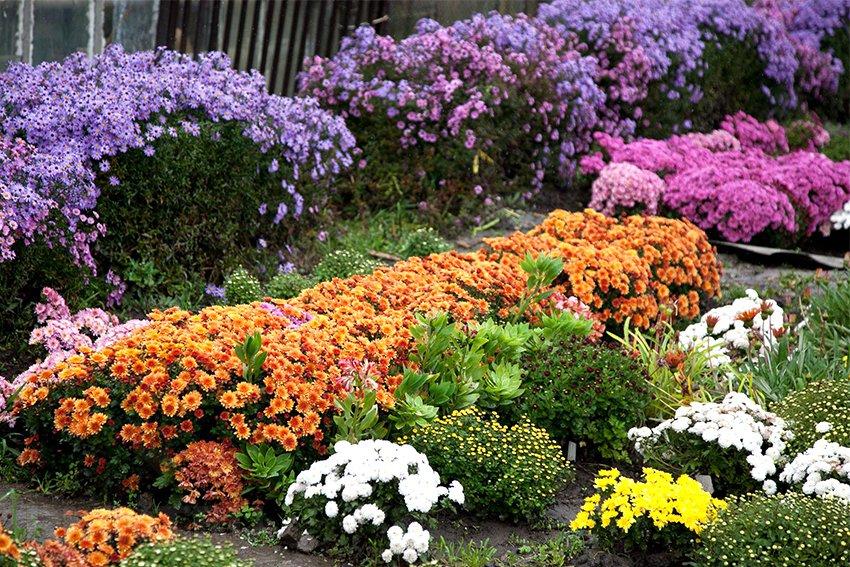 Цветы хризантемы: фото и описание, как вырастить