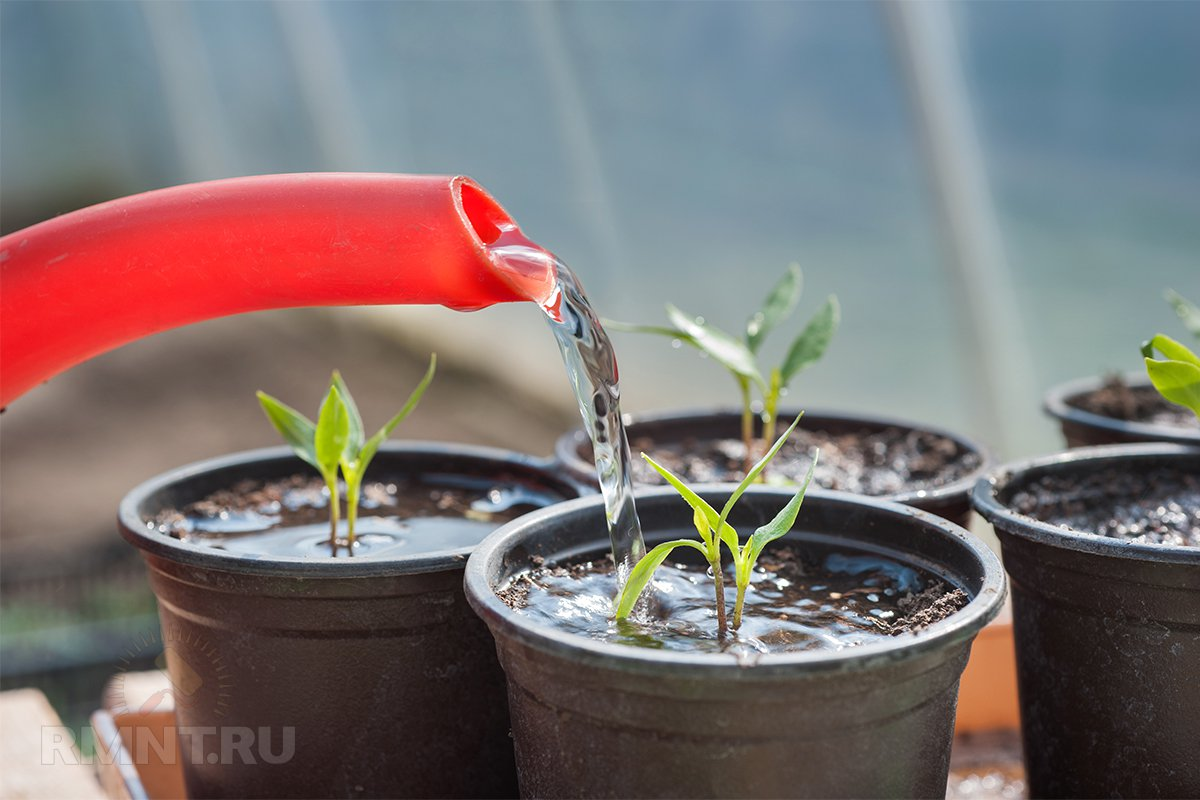 Чем поливать рассаду помидоров 46