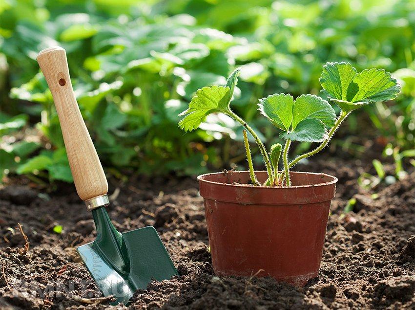 Как ускорить рост рассады земляники 57