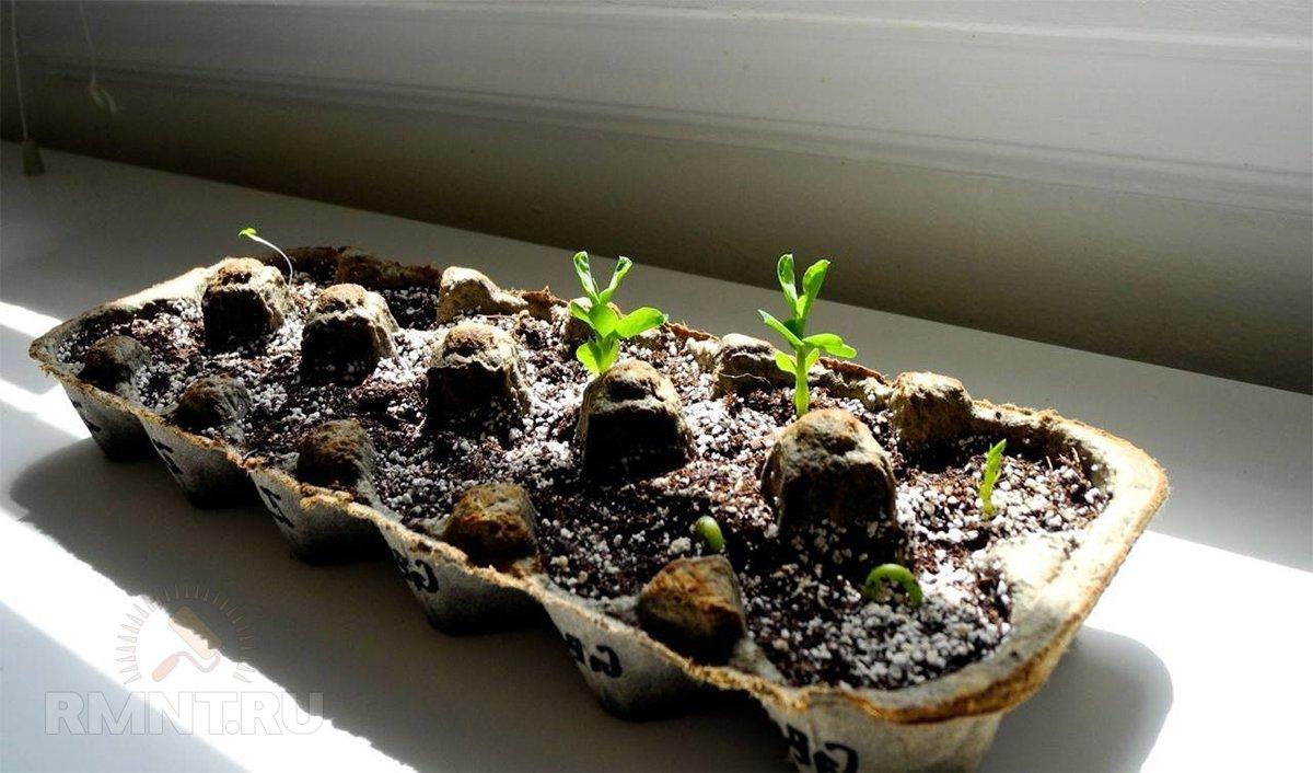 Выращивание овощей в яичных контейнерах