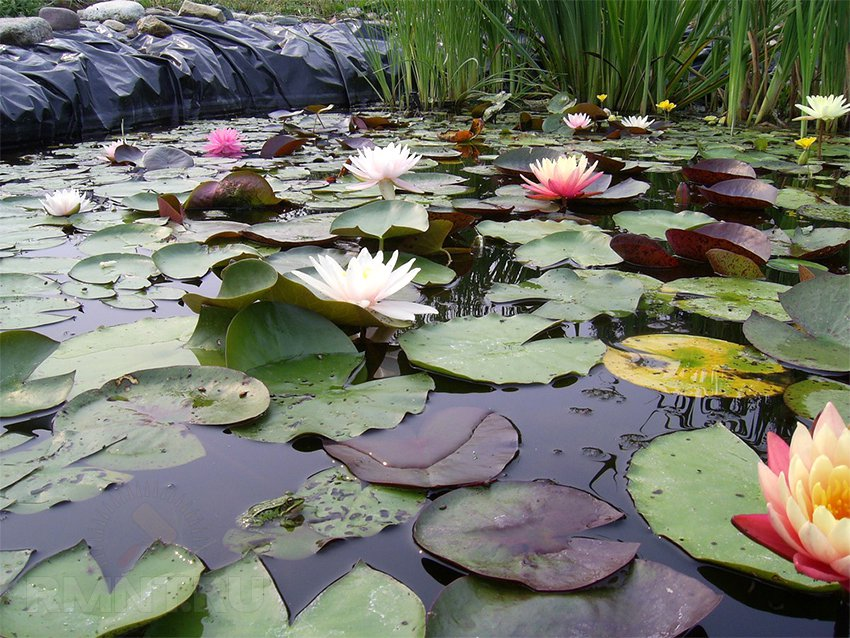 Растения для пруда на даче (37 фото): грунт водоемов, водные, околоводные, плавают по поверхности, речные, оформление