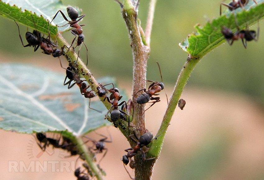 Борьба с муравьями или как избавиться от муравейников
